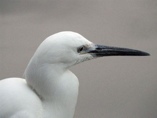 white 鷺 egretta garzetta small white 鷺