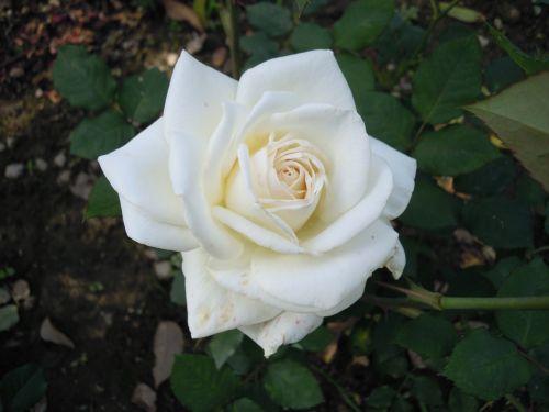 white rose 蔣 's former residence