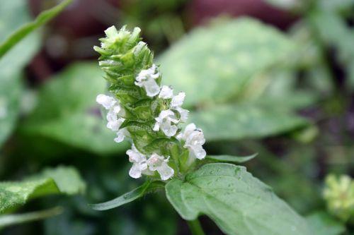 white accentor prunella mediterranean
