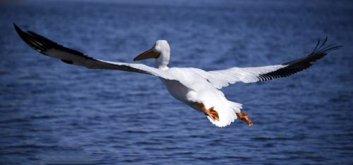 White Adult Pelican Flight