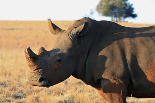 White Adult Rhinoceros