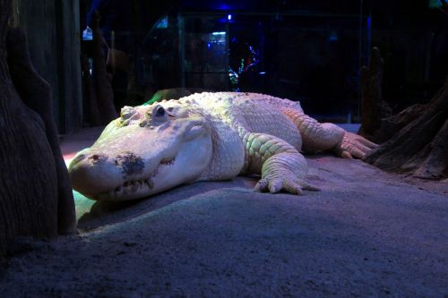 white alligator albino crocodile
