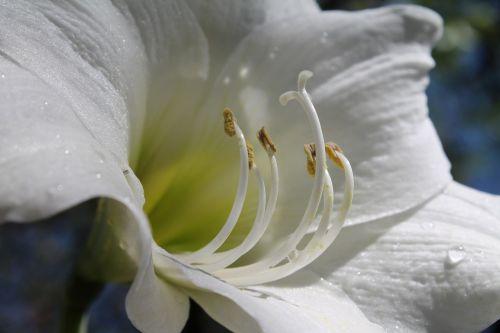 white amaryllis flowering bulbs amaryllis belladonna