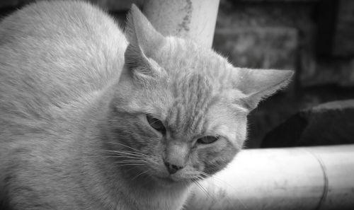 white and negrogato animalia kitten