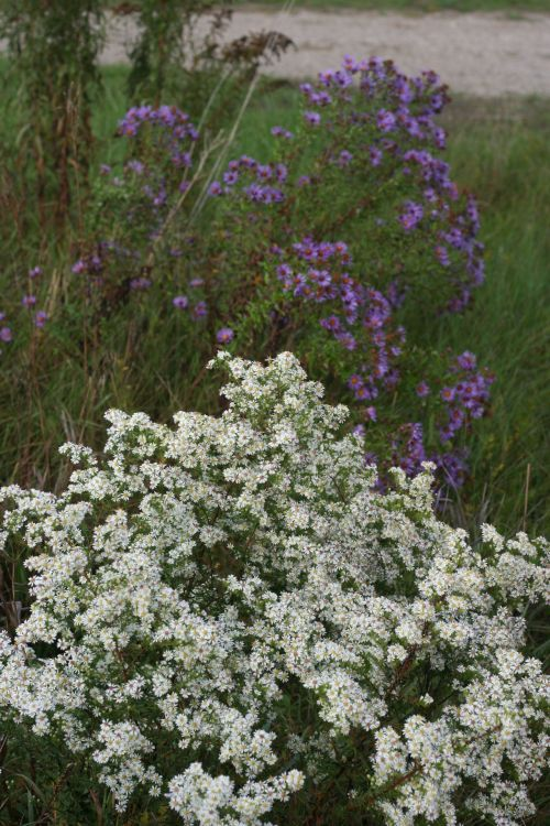 White And Purple Asters