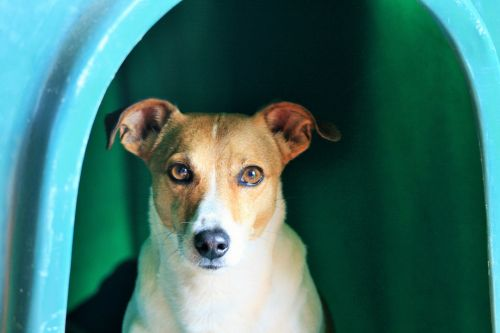 White And Tan Jack Russell Terrier