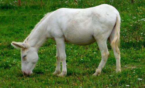white asses donkey donkey eats