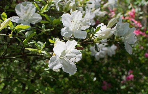 white azalea  azalea  flower