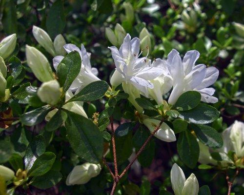 white azalea  blossoms  azalea