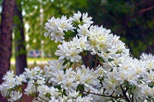 white azaleas in arkansas ozarks  blossoms  azalea