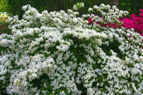 white azaleas in full bloom  blossoms  azalea