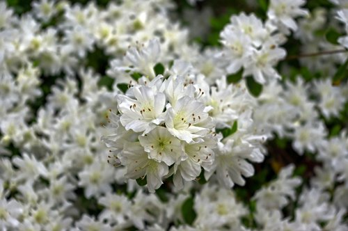 white azaleas in ozarks  blossoms  azalea