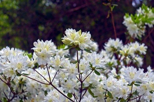 white azaleas in the ozarks  blossoms  azalea