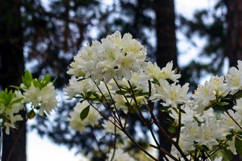 white azaleas in the pines  blossoms  azalea