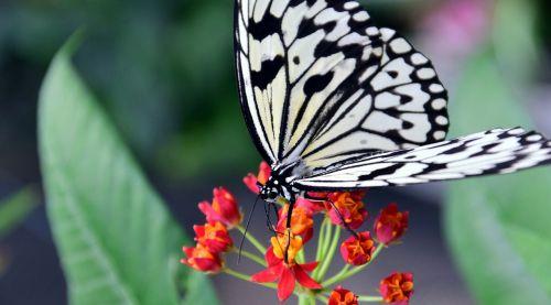 white baumnymphe idea leukonoe butterfly