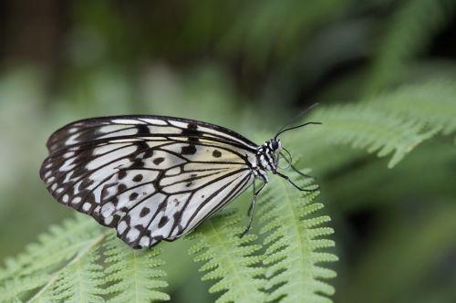 white baumnymphe butterflies butterfly