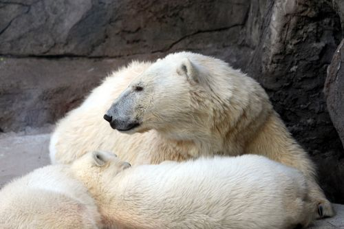 white bear female bear teddy-bear