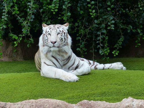white bengal tiger tiger rest