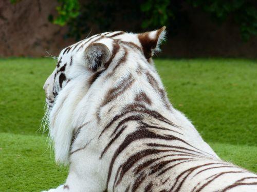white bengal tiger fur drawing