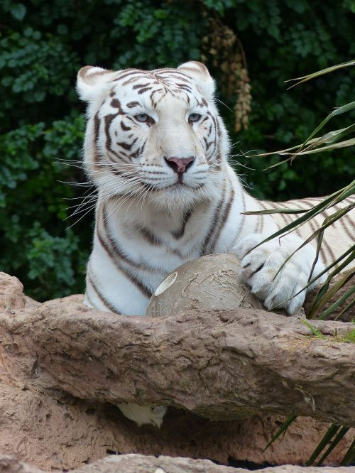 white bengal tiger attention watch