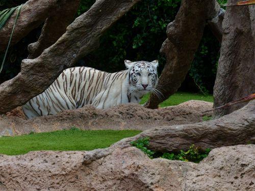 white bengal tiger tiger predator