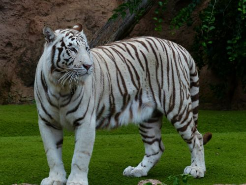 white bengal tiger tiger majestic