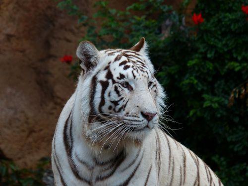 white bengal tiger tiger cat
