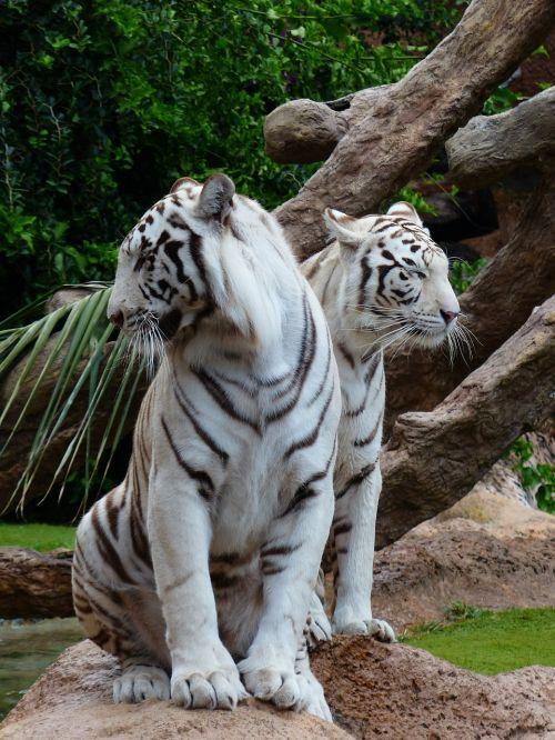 white bengal tiger tiger couples sit