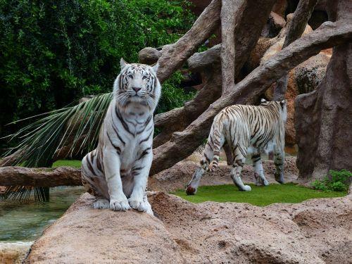 white bengal tiger tiger sit