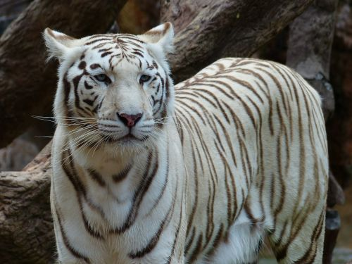 white bengal tiger tiger noble