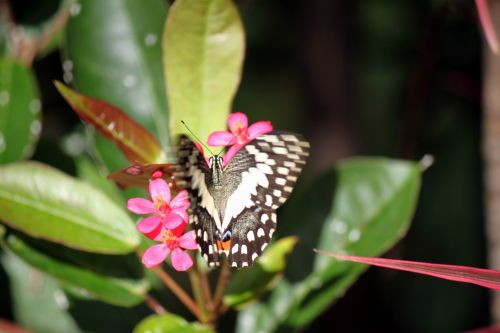 White Black Dotted Butterfly On Red