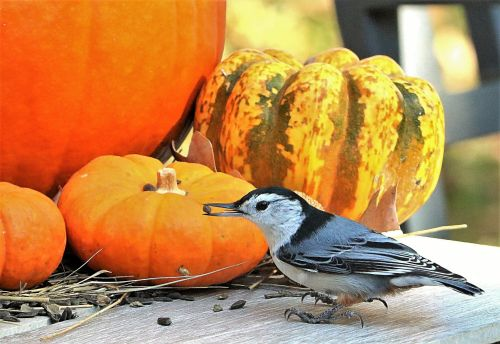 White-breasted Nuthatch And Pumpkin
