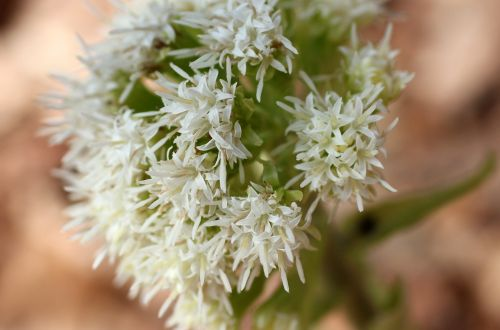 white butterbur blossom bloom