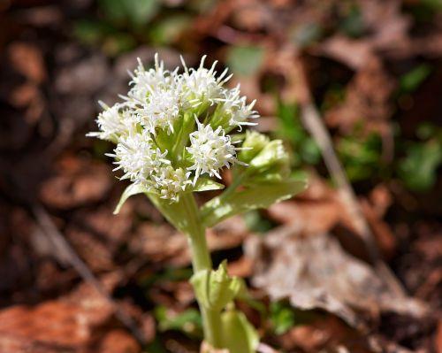 white butterbur,plant,medicinal plant,forest plant,petasites albus,composites,forest,nature,wild plant,close,flowers