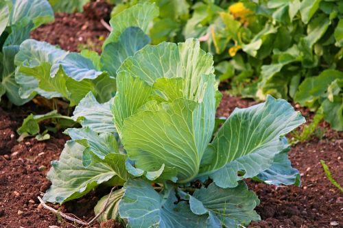 white cabbage cabbage kohl