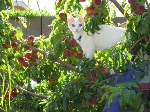 white cat peach tree humor