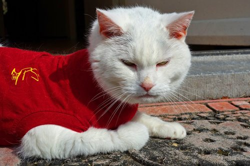 white cat  cat  animal