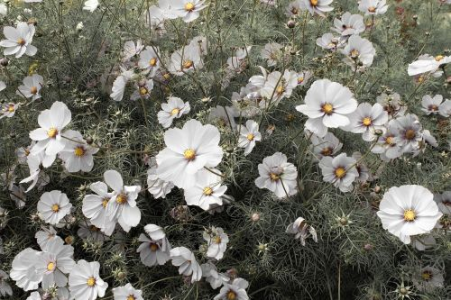 white cosmos cosmos flowers cosmos