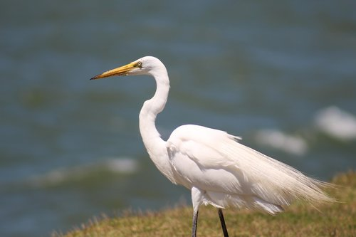 white crane  great  waterfowl