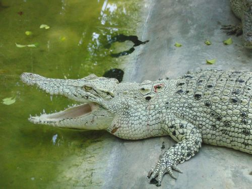 white crocodile lies crocodile farm