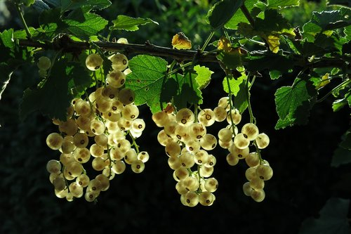 white currant  fruits  berries