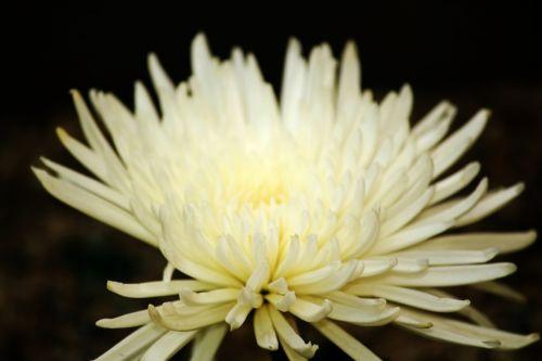 balta & nbsp, gėlė, gėlė, lapai, žiedlapiai, balta, gėlės, balta & nbsp, dahlia, balta dahlija