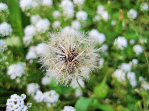 White Dandelion In Green Garden
