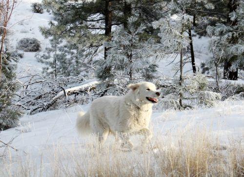 baltas šuo,šuo,naminis gyvūnėlis,gyvūnas,baltas fonas,šunys,draugas,laisvė,šunys,sniegas,žiema