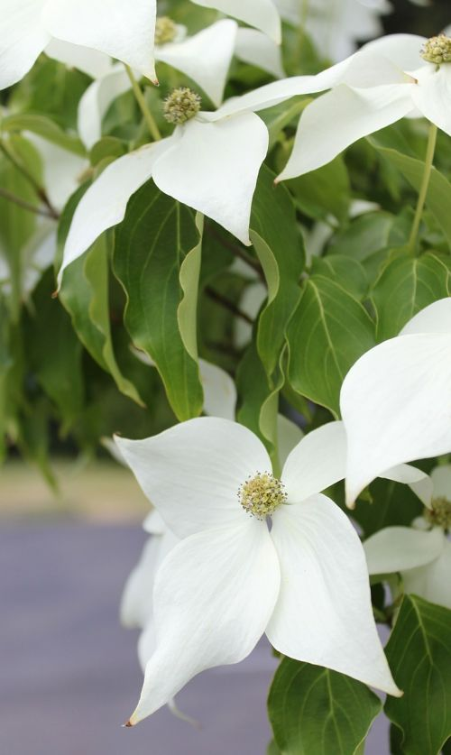 white dogwood dogwood ornamental tree