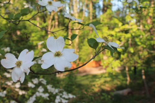 White Dogwoods In Virginia