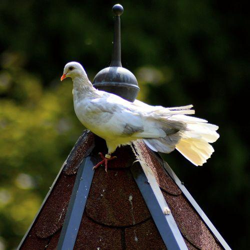 white dove dove feather