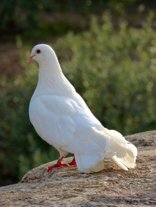 white dove peace paloma