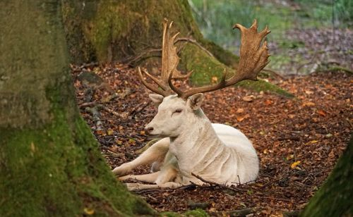 white fallow deer antler forest