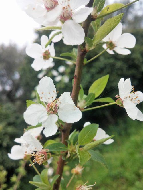 white flower blossom greece